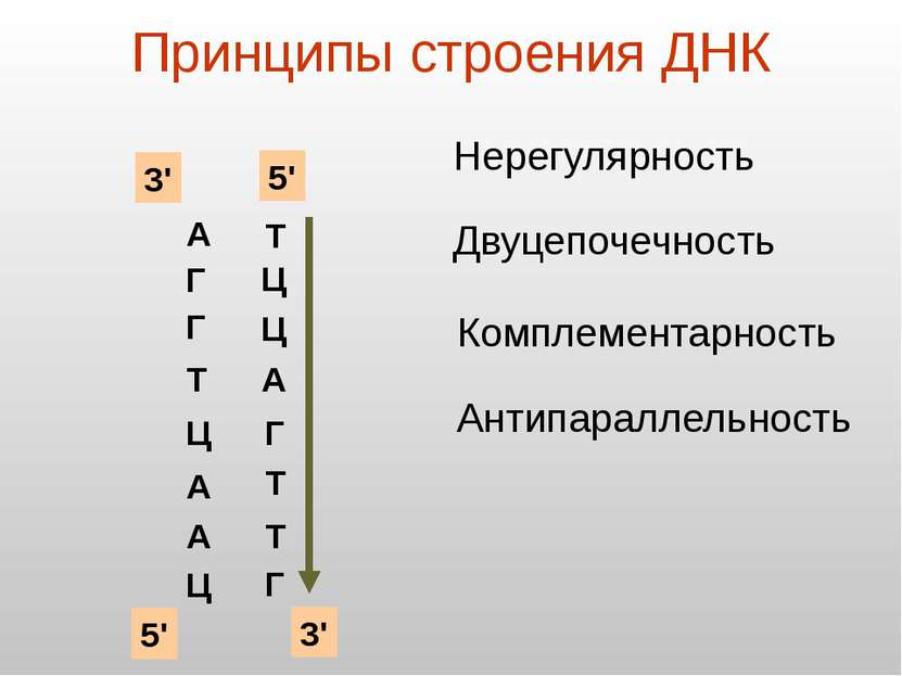 Принципы строения ДНК А Г Г Т Ц А А Ц Нерегулярность Двуцепочечность Ц Ц Комп...