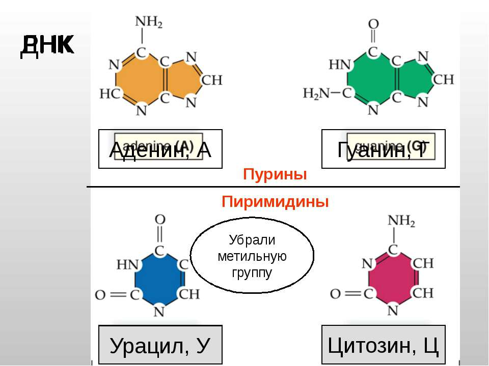 Тимин, Т Цитозин, Ц Аденин, А Гуанин, Г ДНК РНК Урацил, У Убрали метильную гр...