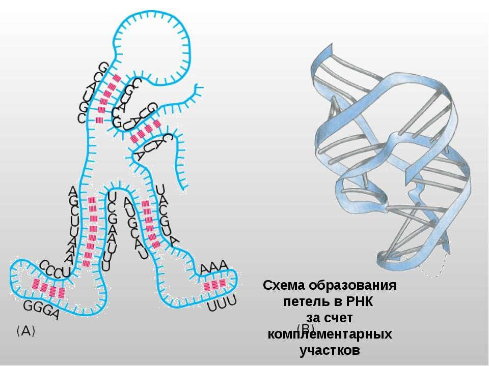 Схема образования петель в РНК за счет комплементарных участков