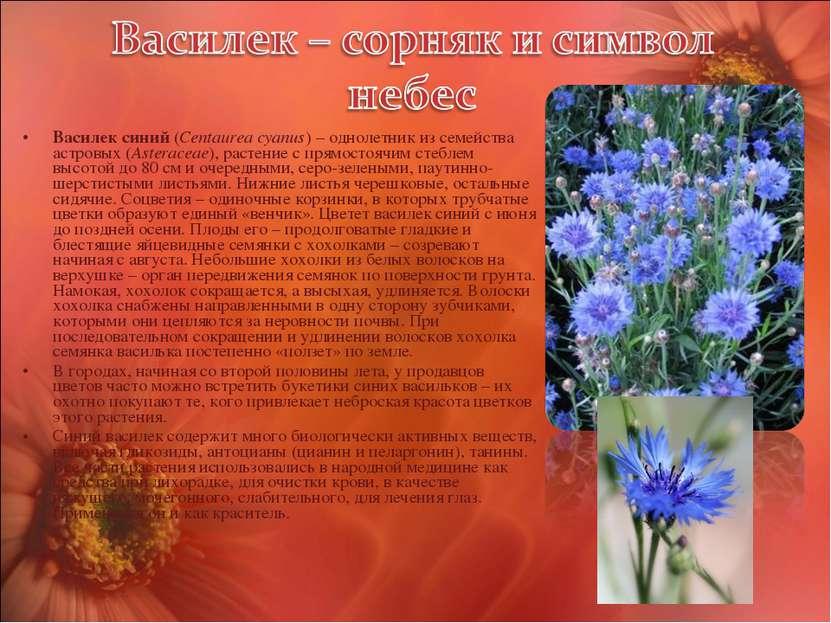 Василек синий (Centaurea cyanus) – однолетник из семейства астровых (Asterace...