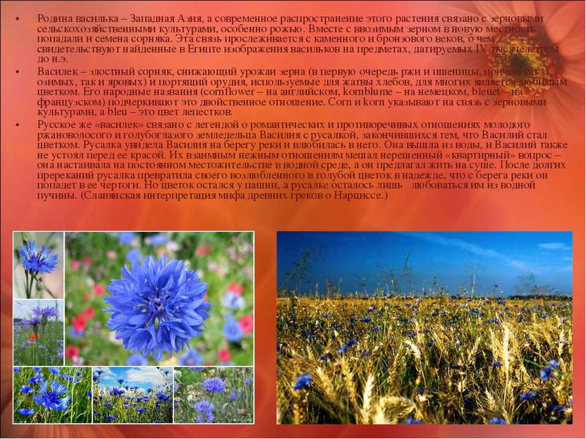 Родина василька – Западная Азия, а современное распространение этого растения...