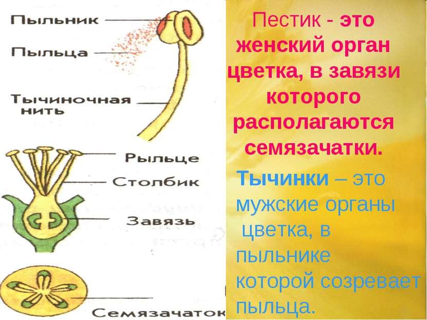 Пестик - это женский орган цветка, в завязи которого располагаются семязачатк...
