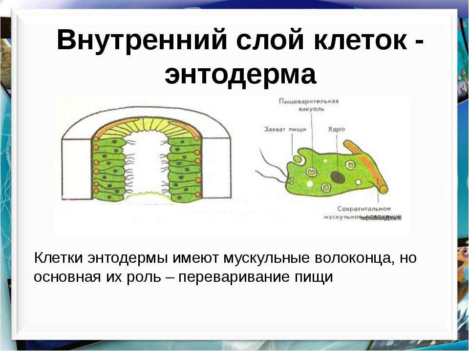 Внутренний слой клеток - энтодерма Клетки энтодермы имеют мускульные волоконц...