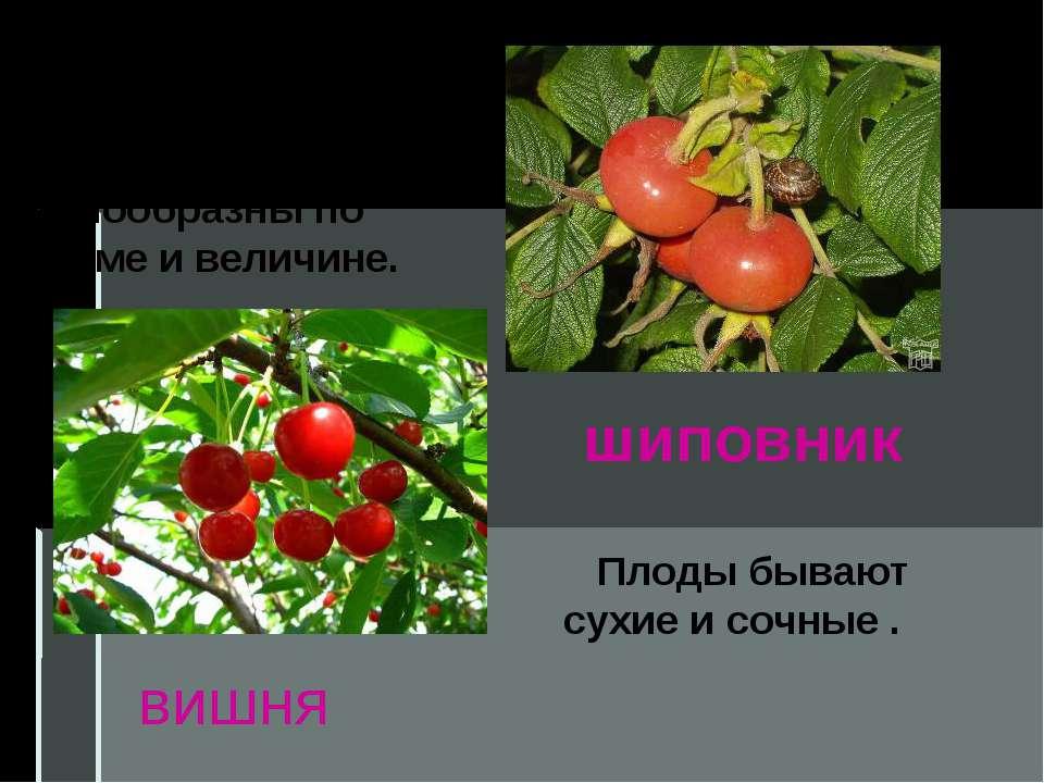 Плоды очень разнообразны по форме и величине. Плоды бывают сухие и сочные . ш...