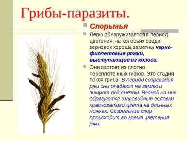 Грибы-паразиты. Спорынья Легко обнаруживается в период цветения: на колосьях ...