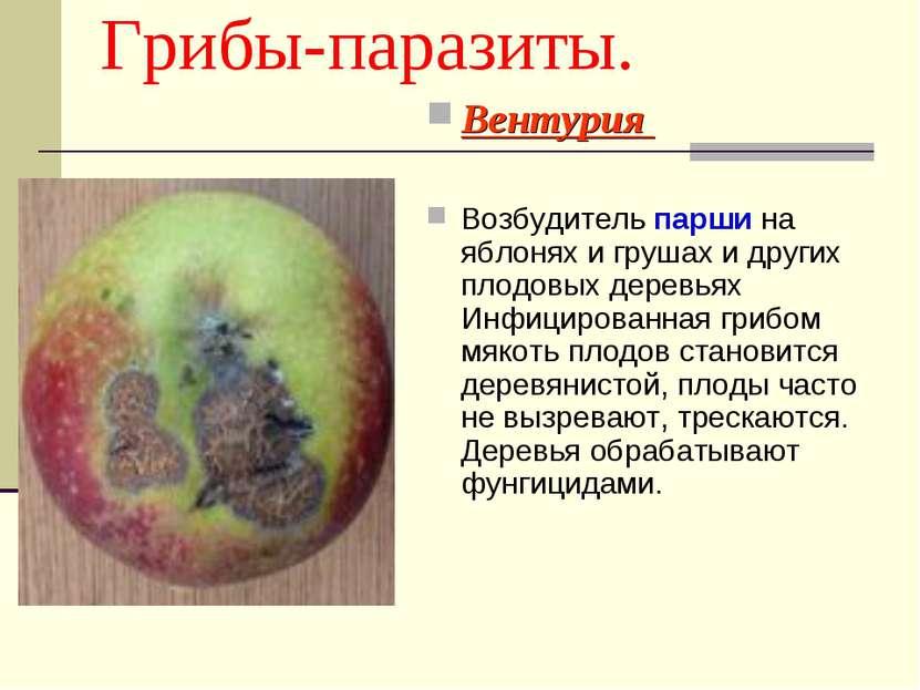 Грибы-паразиты. Вентурия Возбудитель парши на яблонях и грушах и других плодо...