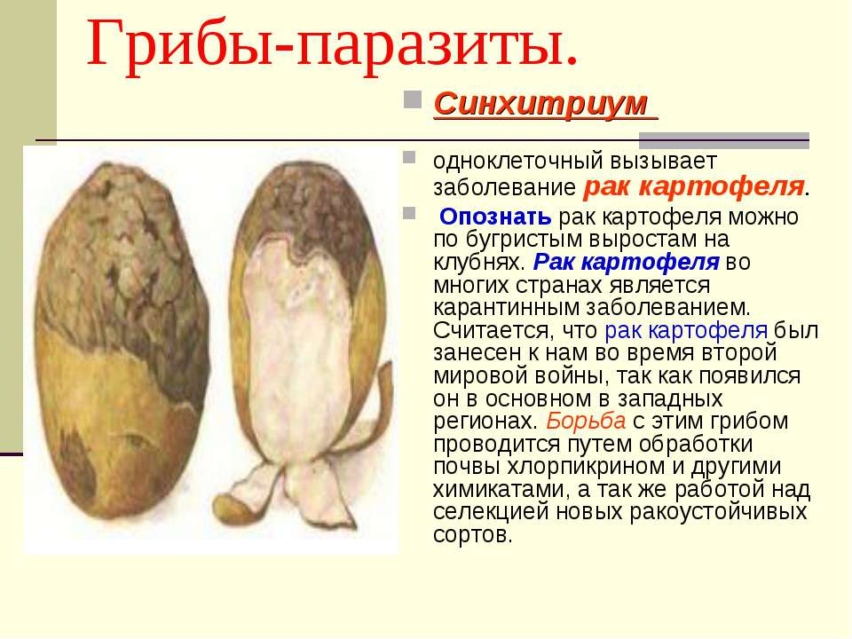 Грибы-паразиты. Синхитриум одноклеточный вызывает заболевание рак картофеля. ...