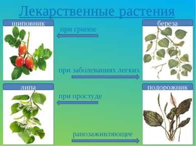 Лекарственные растения шиповник липа береза подорожник