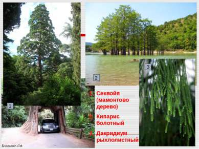 Секвойя (мамонтово дерево) Кипарис болотный Дакридиум рыхлолистный 1 3 2