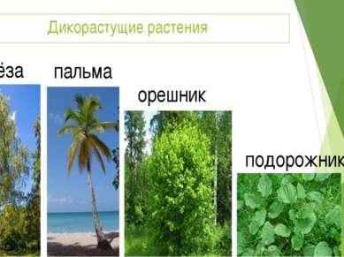 Дикорастущие растения берёза пальма орешник подорожник