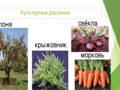 Культурные растения яблоня крыжовник свёкла морковь