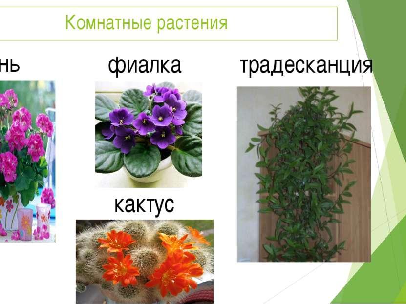 Комнатные растения герань фиалка кактус традесканция