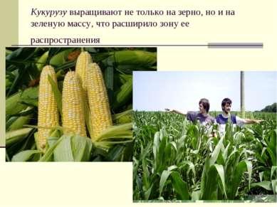 Кукурузу выращивают не только на зерно, но и на зеленую массу, что расширило ...