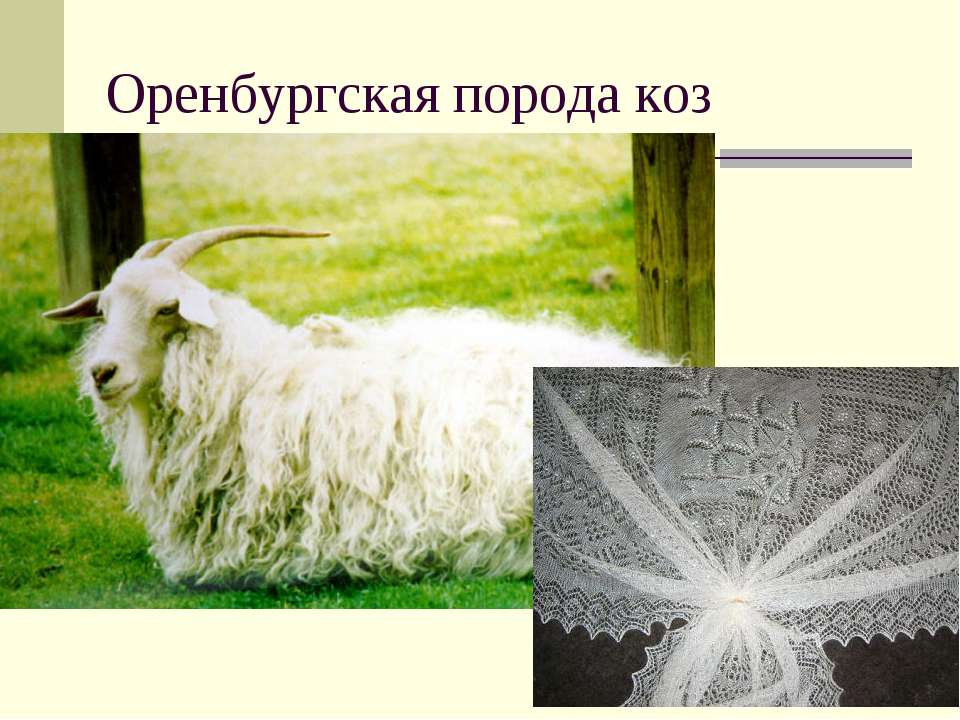 Оренбургская порода коз