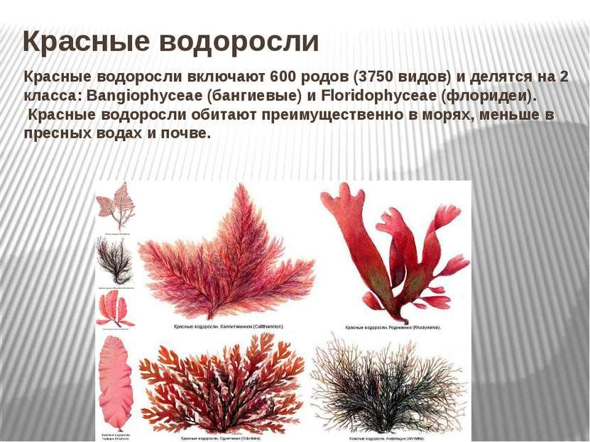 Красные водоросли Красные водоросливключают 600 родов (3750 видов) и делятся...