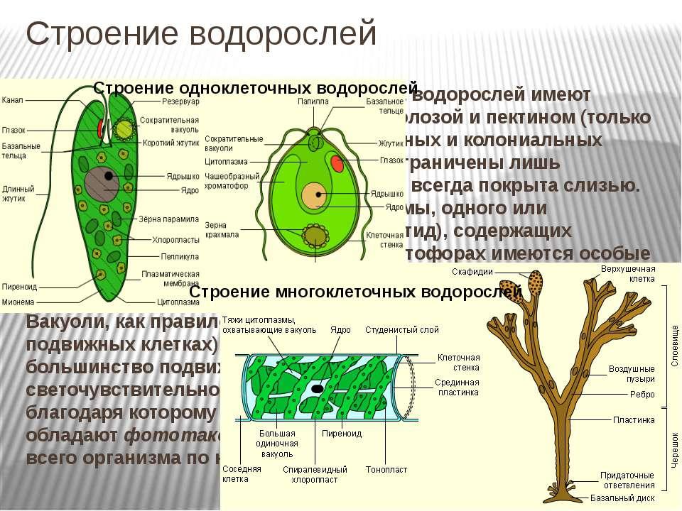 Строение водорослей Строение клеток.Клетки большинства водорослей имеют клет...