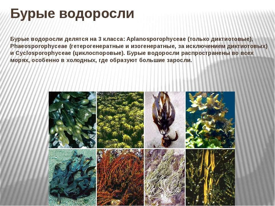 Бурые водоросли Бурые водоросли делятся на 3 класса: Aplanosporophyceae (толь...
