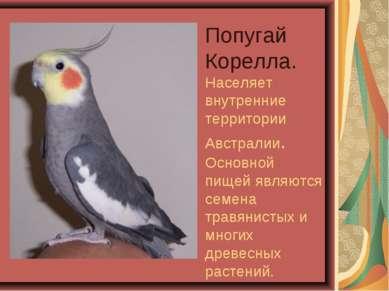Попугай Корелла. Населяет внутренние территории Австралии. Основной пищей явл...