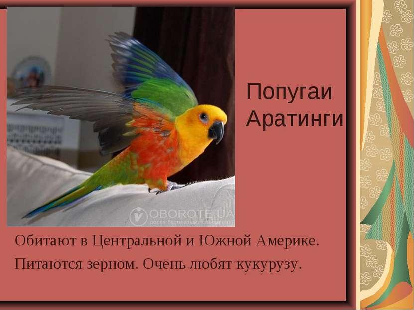 Попугаи Аратинги Обитают в Центральной и Южной Америке. Питаются зерном. Очен...