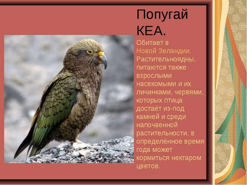 Попугай КЕА. Обитает в Новой Зеландии. Растительноядны, питаются также взросл...