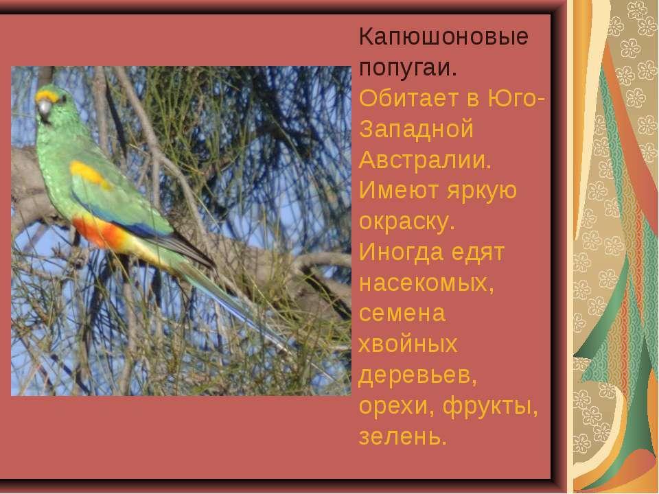 Капюшоновые попугаи. Обитает в Юго-Западной Австралии. Имеют яркую окраску. И...
