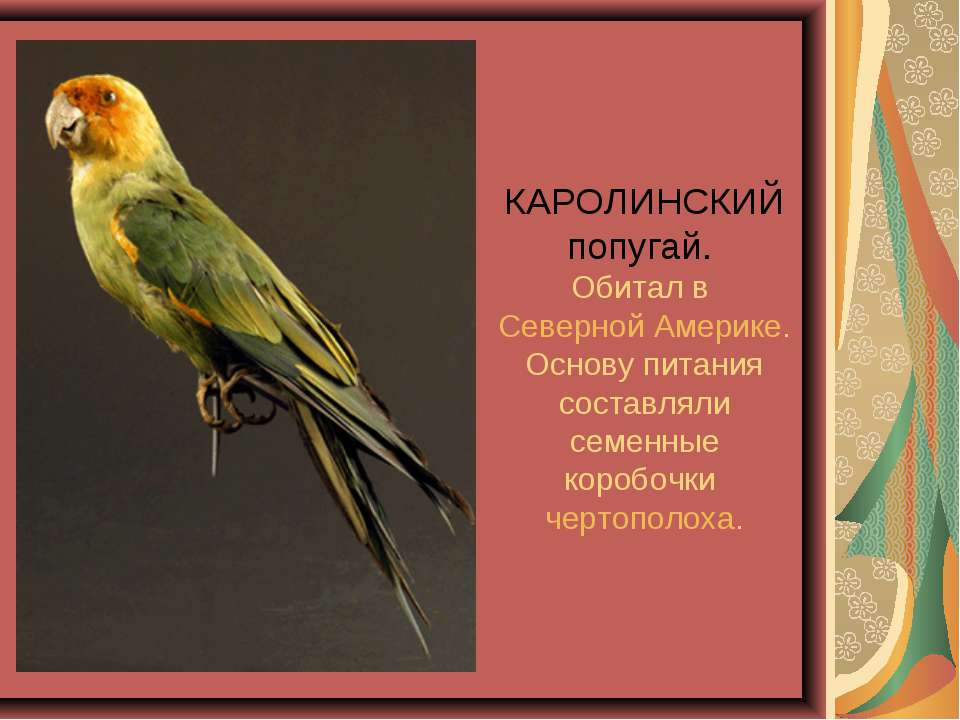 КАРОЛИНСКИЙ попугай. Обитал в Северной Америке. Основу питания составляли сем...