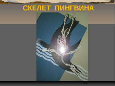 СКЕЛЕТ ПИНГВИНА