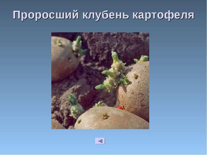 Проросший клубень картофеля