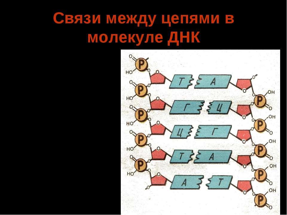 Связи между цепями в молекуле ДНК Осуществляется при помощи водородных связей...