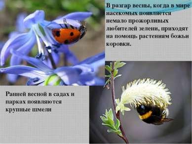 Ранней весной в садах и парках появляются крупные шмели В разгар весны, когда...