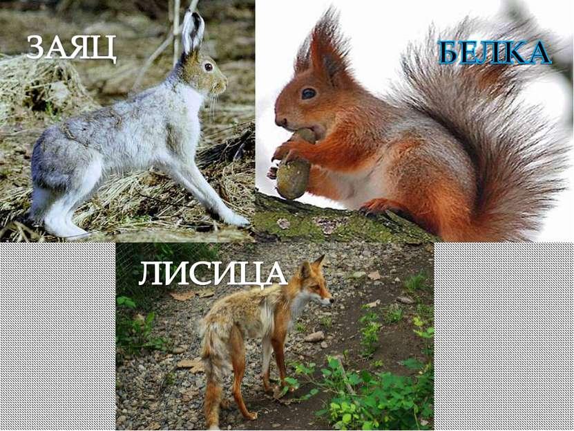 А эти животные начинают менять свою зимнюю теплую шубу на новую, чтобы быть н...