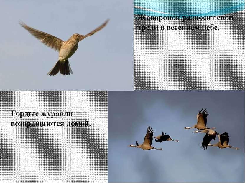 Жаворонок разносит свои трели в весеннем небе. Гордые журавли возвращаются до...