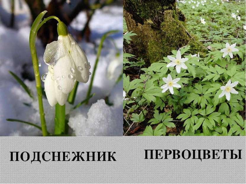 Вспомните название этих весенних цветов. ПОДСНЕЖНИК ПЕРВОЦВЕТЫ