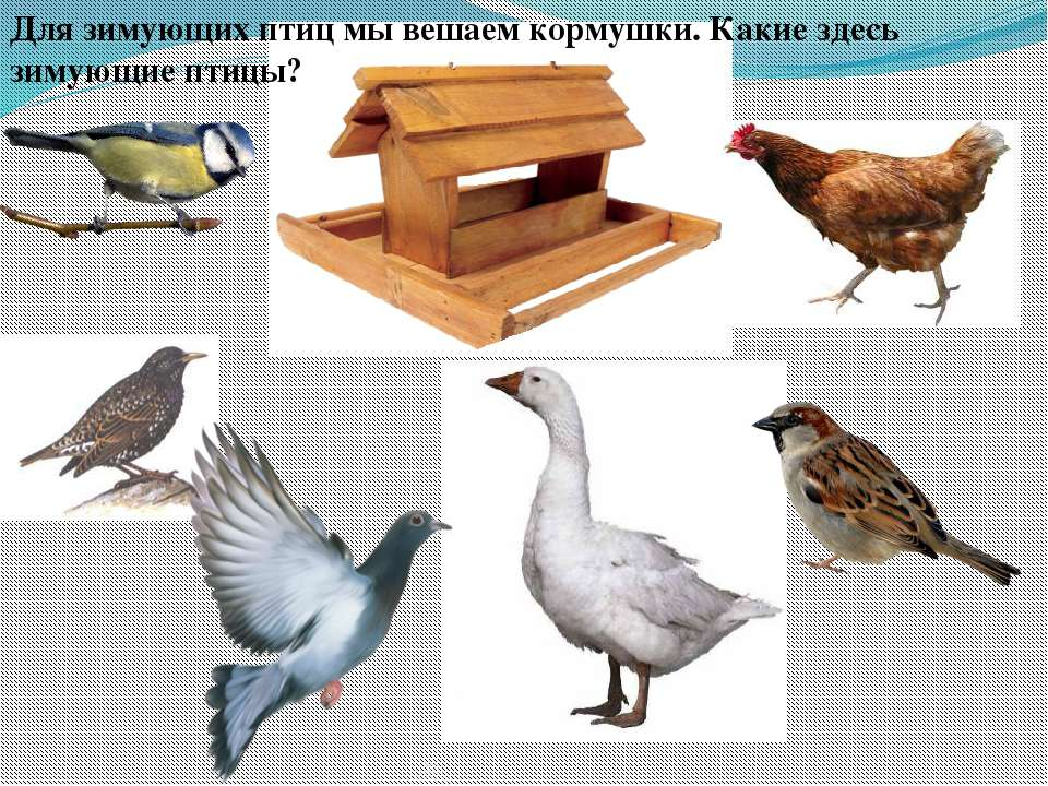 Для зимующих птиц мы вешаем кормушки. Какие здесь зимующие птицы?