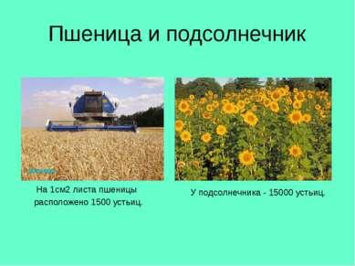 Пшеница и подсолнечник На 1см2 листа пшеницы расположено 1500 устьиц. У подсо...