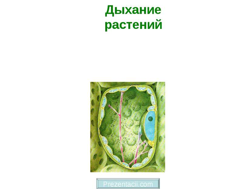 Дыхание растений Prezentacii.com