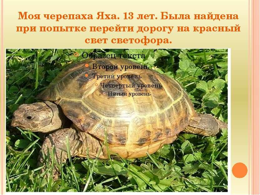 Моя черепаха Яха. 13 лет. Была найдена при попытке перейти дорогу на красный ...
