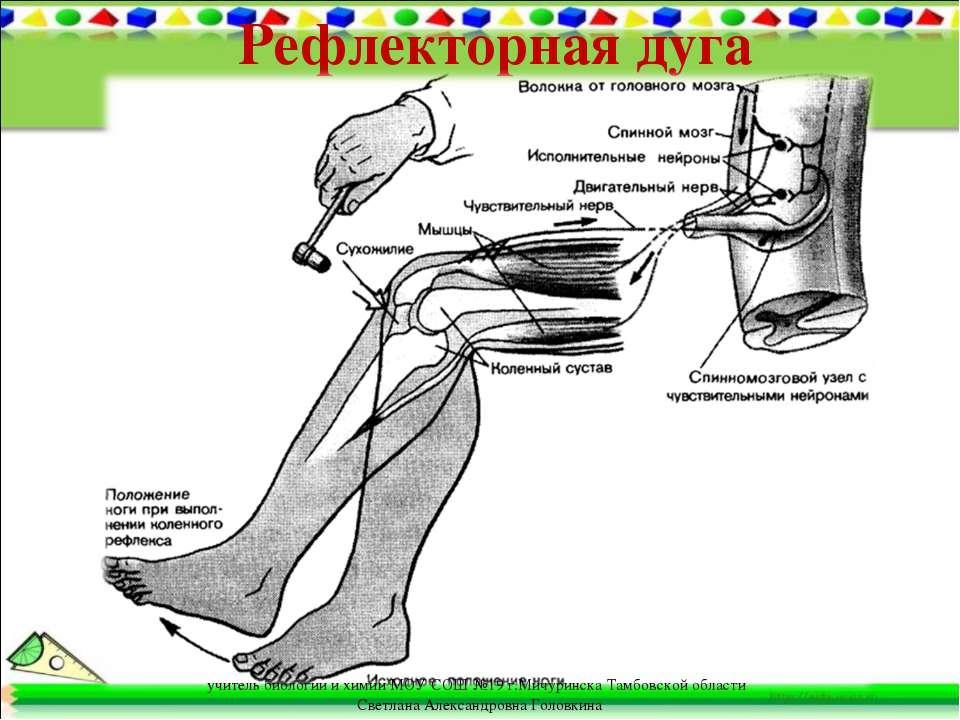 Рефлекторная дуга учитель биологии и химии МОУ СОШ №19 г.Мичуринска Тамбовско...