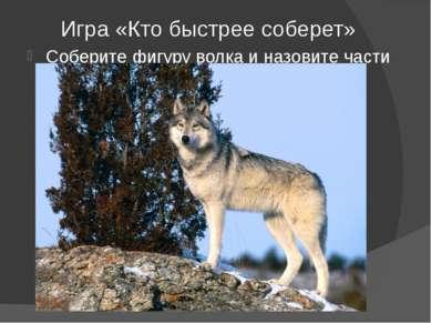Игра «Кто быстрее соберет» Соберите фигуру волка и назовите части туловища.