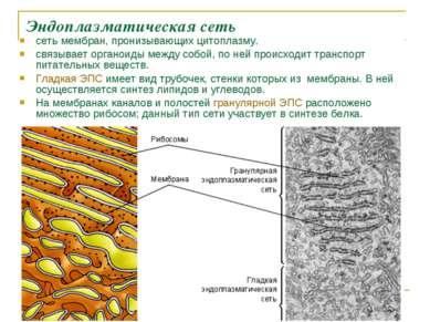 Эндоплазматическая сеть сеть мембран, пронизывающих цитоплазму. связывает орг...