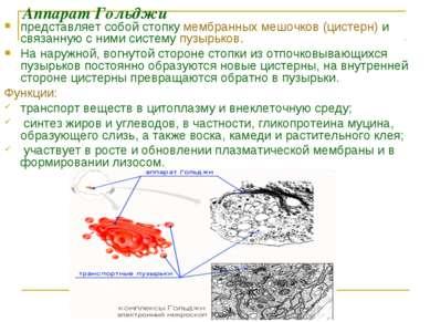 Аппарат Гольджи представляет собой стопку мембранных мешочков (цистерн) и свя...