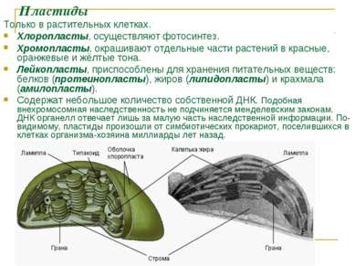 Пластиды Только в растительных клетках. Хлоропласты, осуществляют фотосинтез....
