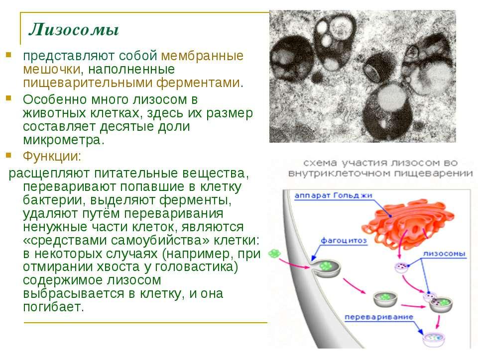 Лизосомы представляют собой мембранные мешочки, наполненные пищеварительными ...