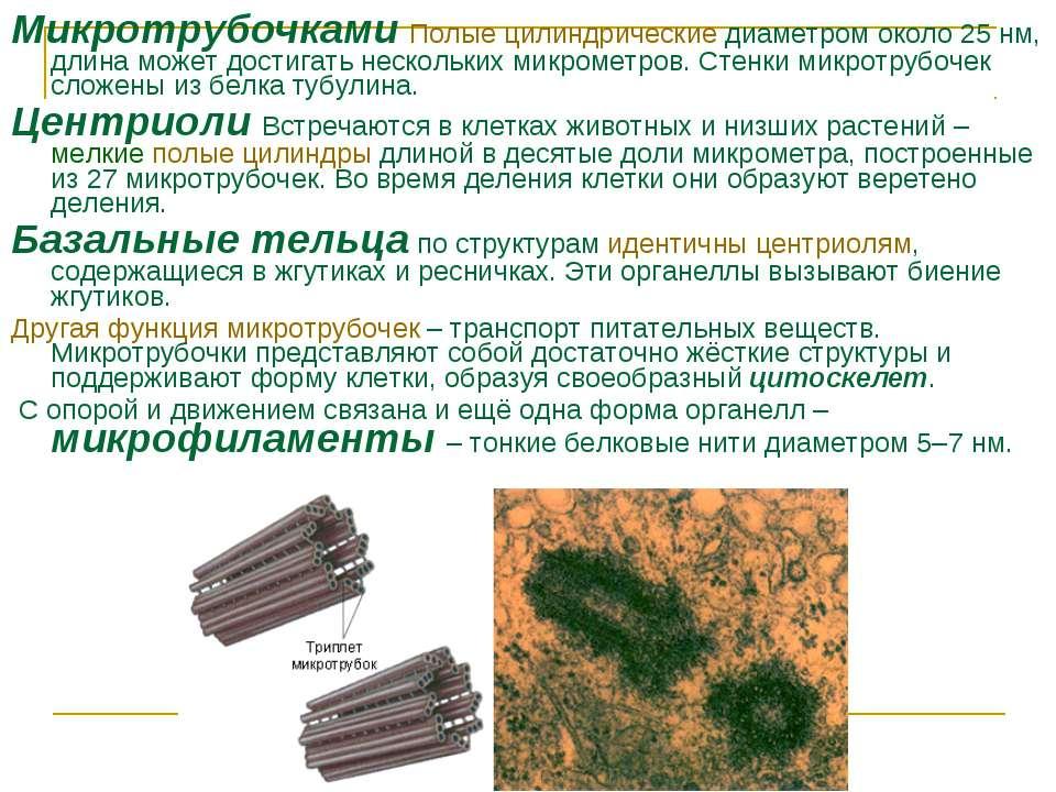 Микротрубочками Полые цилиндрические диаметром около 25нм, длина может дости...