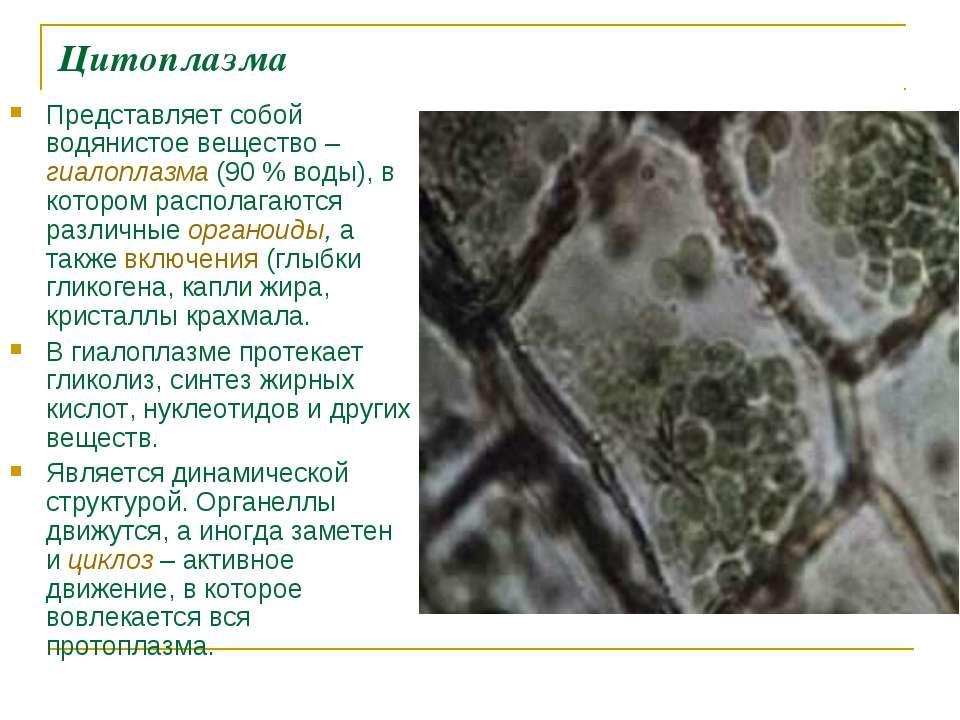 Цитоплазма Представляет собой водянистое вещество – гиалоплазма (90% воды), ...