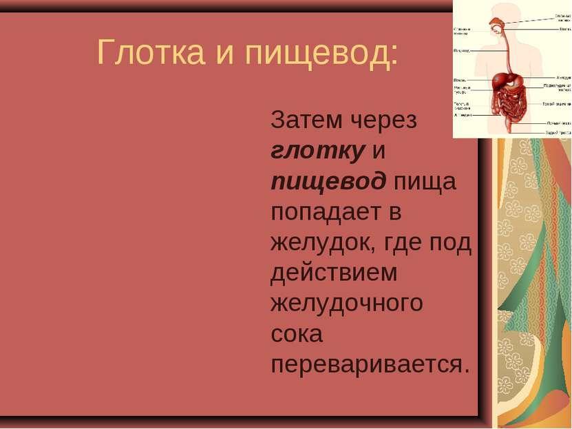 Глотка и пищевод: Затем через глотку и пищевод пища попадает в желудок, где п...