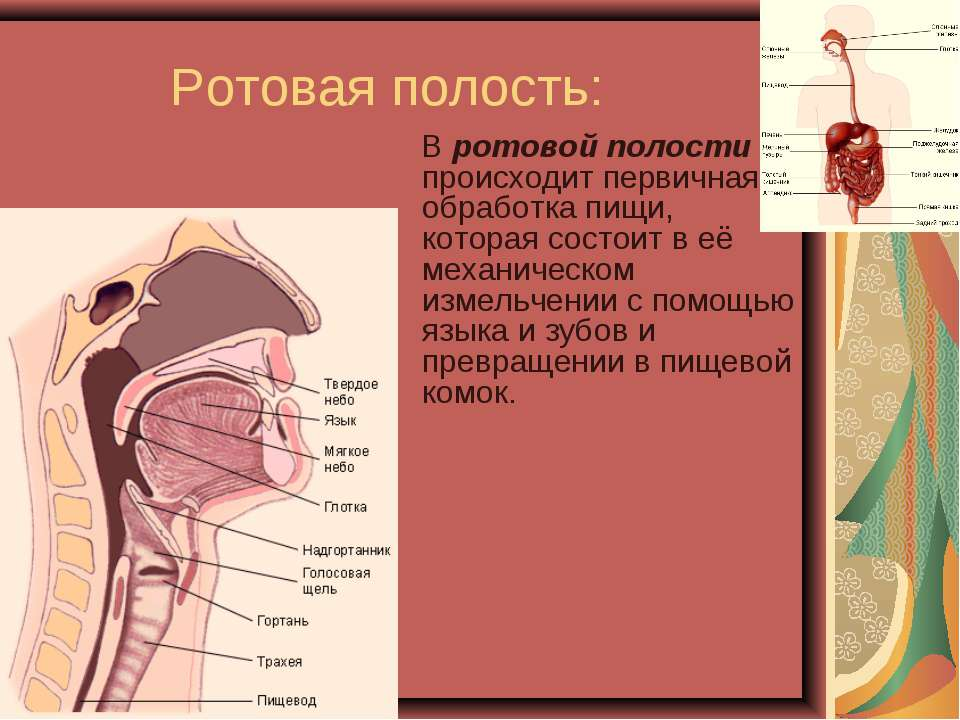 Ротовая полость: В ротовой полости происходит первичная обработка пищи, котор...