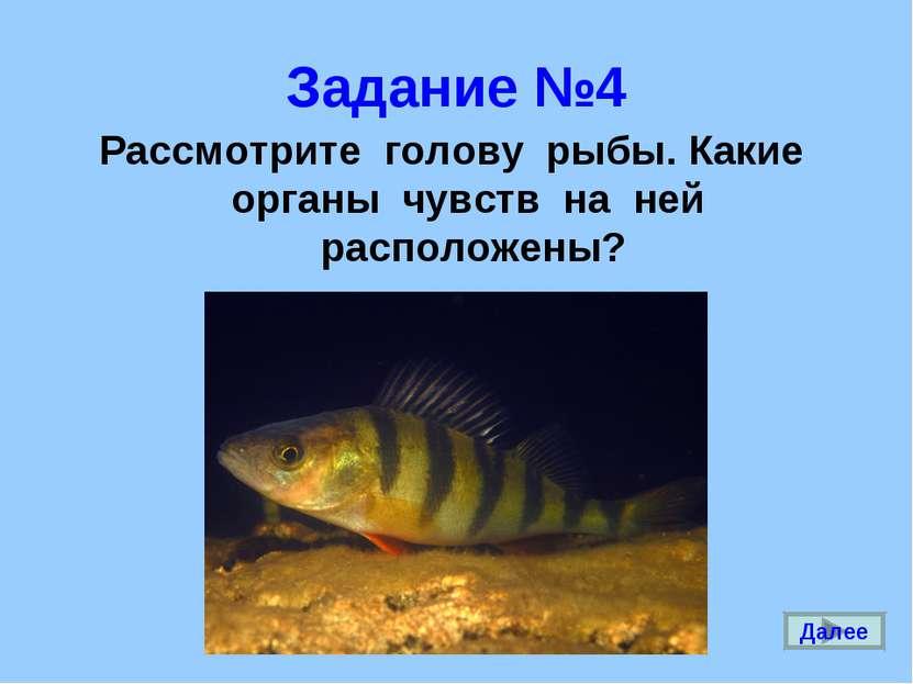 Задание №4 Рассмотрите голову рыбы. Какие органы чувств на ней расположены? Д...