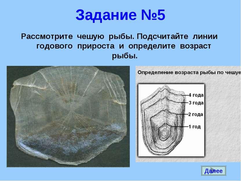 Задание №5 Рассмотрите чешую рыбы. Подсчитайте линии годового прироста и опре...