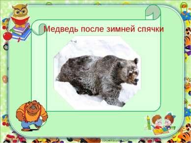 corowina.ucoz.com Медведь после зимней спячки
